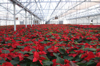 December Poinsettias